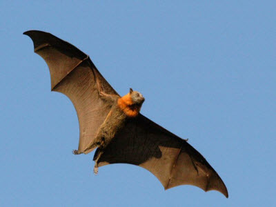 _ flying_fox_07