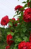 Plet.roza