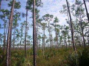 800px-Pinus_elliottii_Everglades