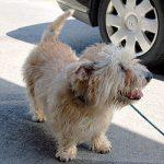 250px-Adult_Glen_of_Imaal_terrier