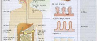 анатомия ЖКТ
